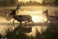Картинка утро, озеро, дымка, олени