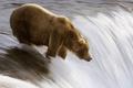 Картинка Медведь, рыбалка, река