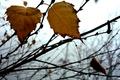 Картинка листок, туман, Осень, береза