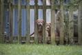 Картинка собаки, забор, две