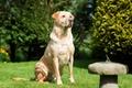 Картинка собака, лабрадор, трава, пёс