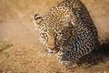 Картинка Масаи-Мара, дикая кошка, Kenya, Кения, Masai Mara, взгляд, леопард