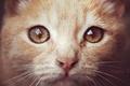 Картинка глаза, кот, рижый