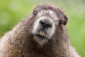 Картинка усы, животные, Бобр, рожа, морда, обои, шкура, зубы, animal, нос, wallpaper, глаза