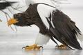 Картинка побережье Курильского озера, Южно-Камчатский федеральный заказник, Белоплечий (тихоокеанский) орлан (Haliaeetus pelagicus), походка, лед