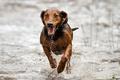 Картинка собака, взгляд, бег, друг