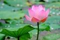 Картинка макро, лист, вода, лотос, пруд, цветок