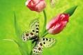 Картинка цветы, тюльпан, зеленый, бабочка