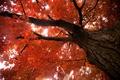 Картинка ствол дерева, осень, листва, клен
