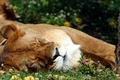 Картинка язык, трава, спит, Лев