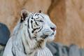 Картинка белый тигр, хищник, морда, профиль, дикая кошка
