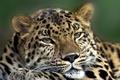 Картинка кошка, глаза, усы, морда, животное, лапа, хищник, голова, шерсть, леопард, шкура, окрас, зверь, уши, меж, ...