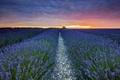 Картинка лаванды, поле, пейзаж, закат