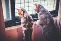 Картинка дом, кошаки, коты, окно, наблюдение