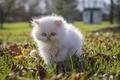 Картинка прогулка, белый, пушистый, котёнок