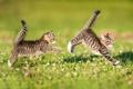 Картинка хвостики, игра, двойняшки, лужайка, догонялки, котята, парочка
