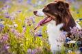 Картинка собака, Австралийская овчарка, цветы, луг, язык