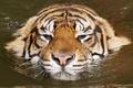 Картинка вода, тигр, relax, киса