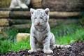 Картинка котенок, хищник, мордочка, белый тигр, детеныш, дикая кошка, тигренок