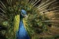 Картинка павлин, птица, природа