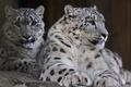 Картинка семья, пара, хищник, ирбис, снежный барс, snow leopard