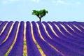 Картинка дерево, небо, поле, лаванда