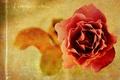Картинка стиль, фон, роза