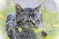 Картинка кошка, трава, кот, цветы, серый, в полоску