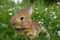 Картинка животные, лето, трава, цветы, серый, поляна, мило, ромашки, кролик, грызуны, обои от lolita777