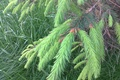 Картинка ветка, иголки, Весна, молодая, хвоя, елка, зелень, май, трава