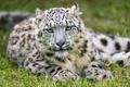 Картинка кошка, трава, ©Tambako The Jaguar, ирбис, снежный барс