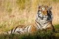 Картинка трава, морда, тигр, отдых, покой