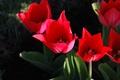Картинка красный, лепестки, стебель, тюльпан, цветок, листья