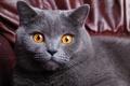 Картинка кошка, окрас, серый, cat, короткошерстный, морда, британец, желтые, глаза, британский, кот