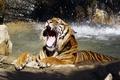 Картинка рычит, река, Тигр