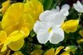 Картинка зелень, макро, цветы, природа, желтые, цветет, flower, blossom, фиалки, viola