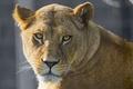 Картинка кошка, взгляд, львица, ©Tambako The Jaguar, морда