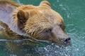 Картинка морда, мокрый, хищник, медведь, купание