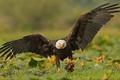 Картинка добыча, ястреб, крылья, улов, птица, Белоголовый орлан