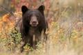 Картинка медведь, топтыгин, чёрный медведь, Барибал