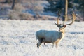 Картинка зима, поле, олень