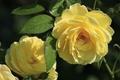 Картинка лепестки, розы, листья