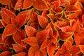 Картинка листья, макро, природа, ковер, растение, Колеус Блюме