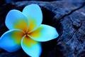 Картинка плюмерия, франжипани, plumeria, древесина, цветок
