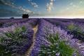 Картинка лето, лаванды, поле