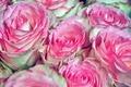 Картинка цветы, розы, природа