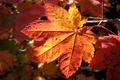 Картинка макро, лист, осень, macro nature