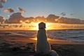 Картинка Собака, dog, закат, пляж, море