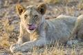 Картинка язык, кошка, львёнок, белый лев, ©Tambako The Jaguar