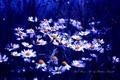 Картинка цвет, ромашки, синий